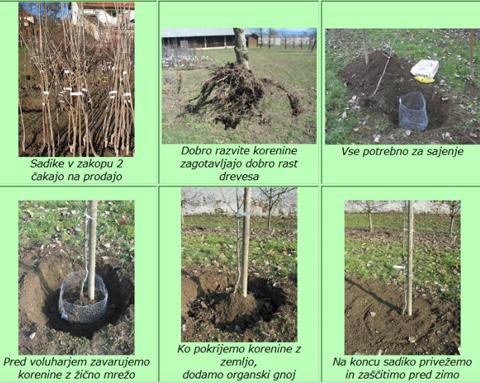sajenje z mrežo za zaščito korenin